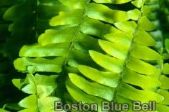blue_bell_3
