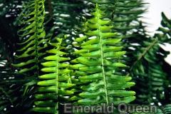 emerald_queen_1