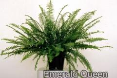 emerald_queen_3