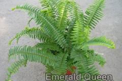 emerald_queen_4