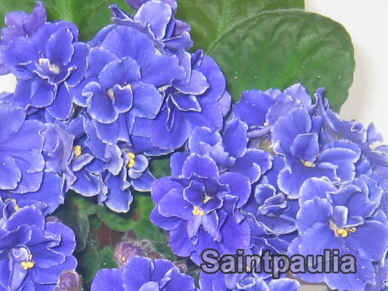 saintpaulia_4