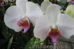 phalaenopsis1