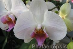 phalaenopsis2