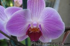 phalaenopsis4