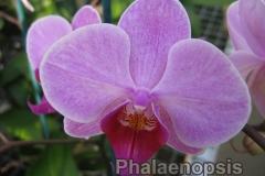 phalaenopsis5
