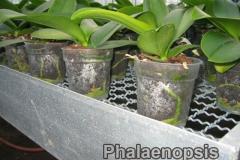phalaenopsis_10