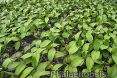 phalaenopsis_11