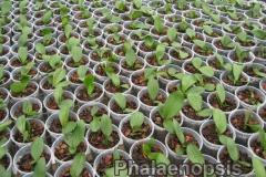 phalaenopsis_12