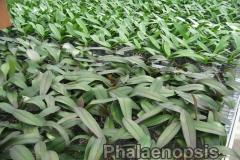 phalaenopsis_13