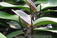 phalaenopsis_14