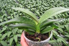 phalaenopsis_15