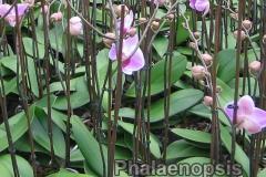 phalaenopsis_16