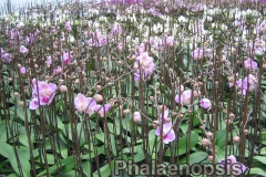 phalaenopsis_17