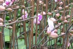 phalaenopsis_18