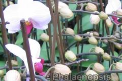 phalaenopsis_19