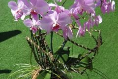 phalaenopsis_20