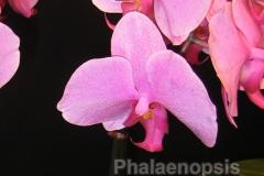 phalaenopsis_4