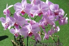 phalaenopsis_7
