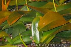 phalaenopsis_9